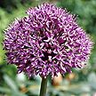 PHOTO: allium