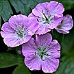 PHOTO: blue geranium