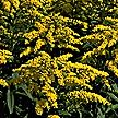 PHOTO: goldenrod