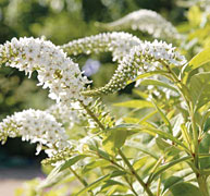 PHOTO: black cohosh