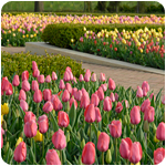 PHOTO: stately tulips in ordered beauty