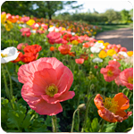 PHOTO: a field of spring poppies