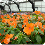 PHOTO: rows of annuals in the production greenhouse