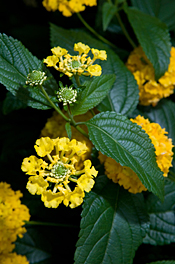 PHOTO: Lantana camara 'New Gold'