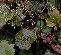 PHOTO: heuchera