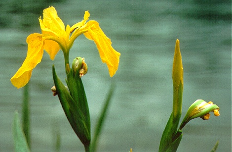 PHOTO: yellow flag iris