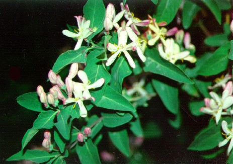 PHOTO: Tatarian honeysuckle