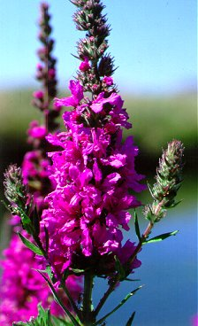 PHOTO: purple loosestrife