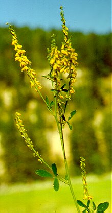 PHOTO: yellow sweetclover