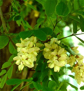 PHOTO: black locust