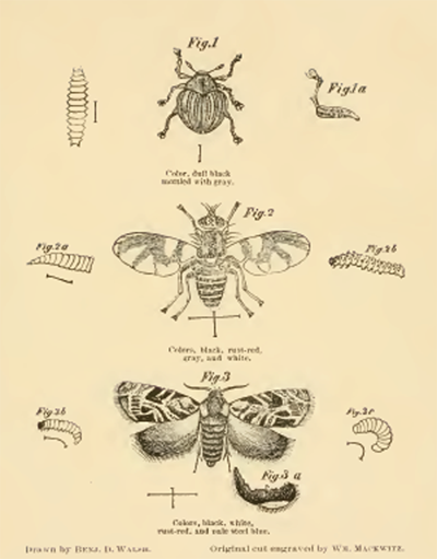ILLUSTRATION: Insect illustrations by B.D. Walsh