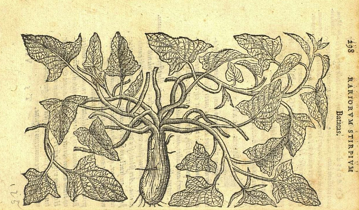 Illustration: Clusius' illustration of potatoes.