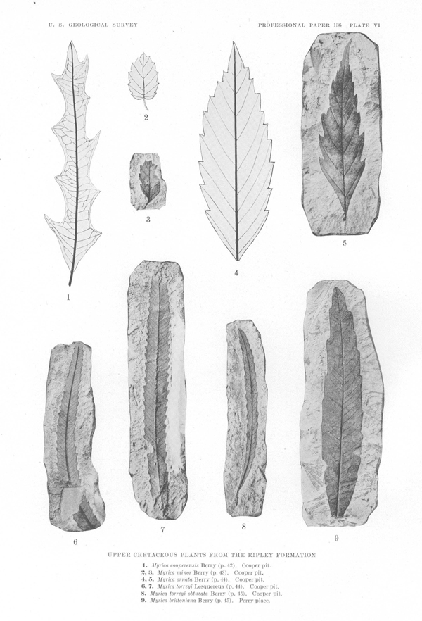 PHOTO: Leaf fossils.