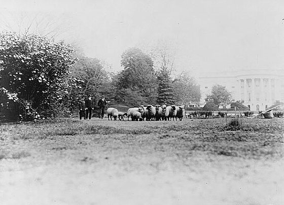 PHOTO: Sheep being herded on the White House lawn.