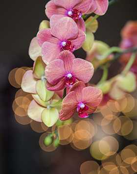 Orchids at night