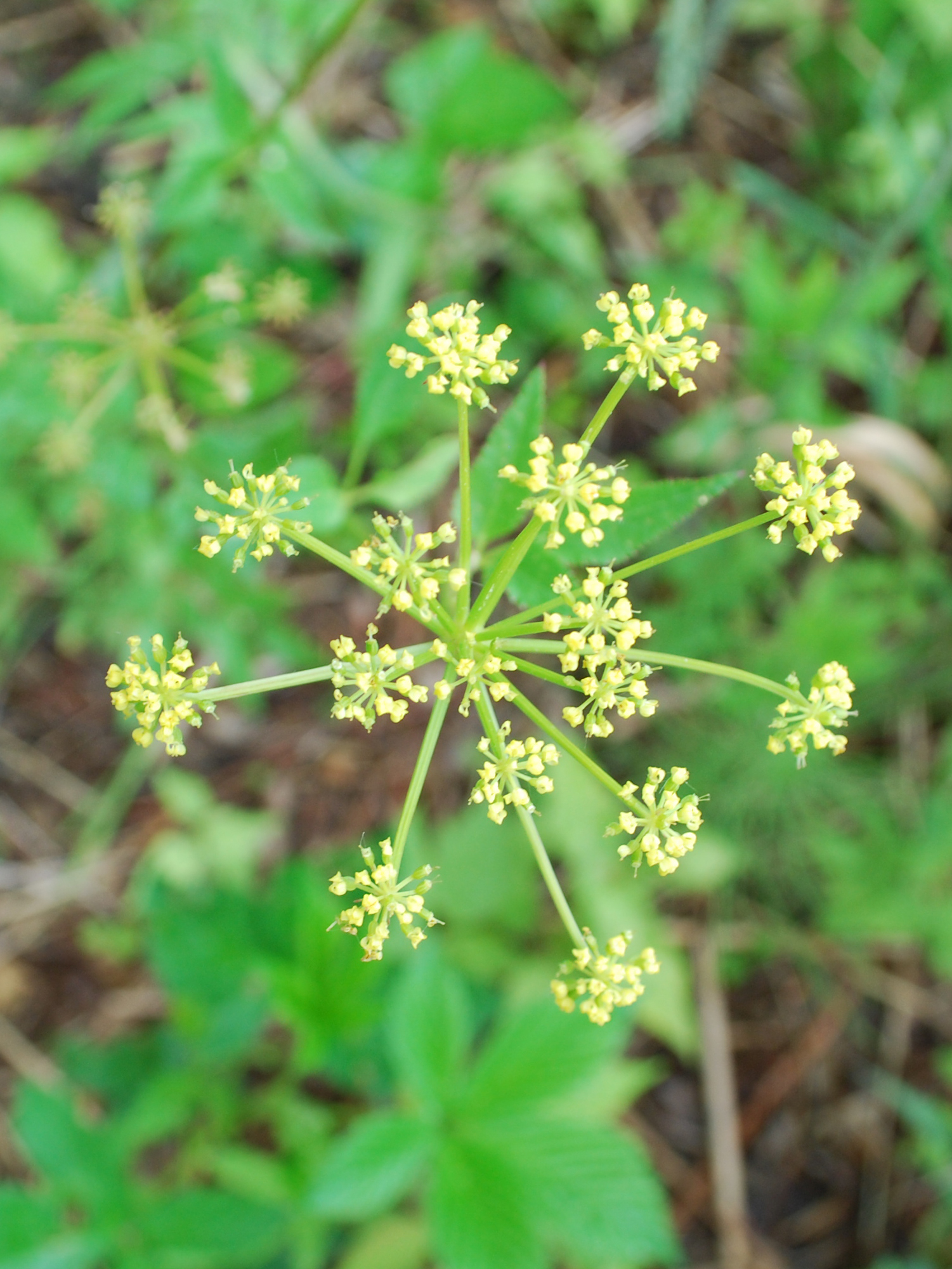 Wild parsnip (Pastinaca sativa) bloom closeup