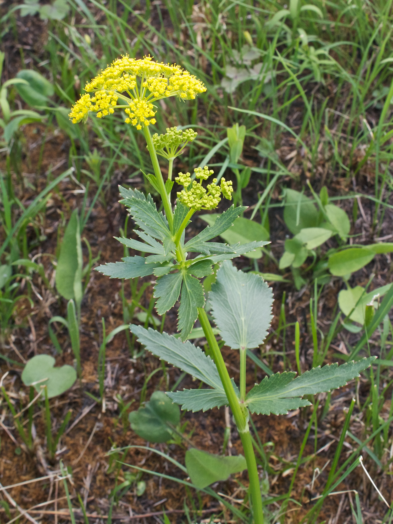 Wild parsnip (Pastinaca sativa) plant in situ