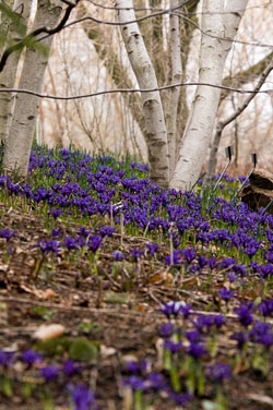 PHOTO: Early spring irises make a blue carpet under whitespire birches.