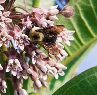 PHOTO: Bee on milkweed