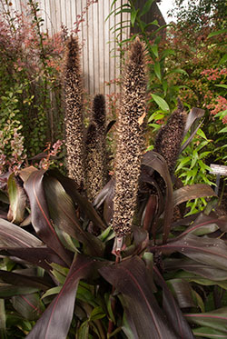 PHOTO: Pennisetum glaucum 'Purple Baron'.