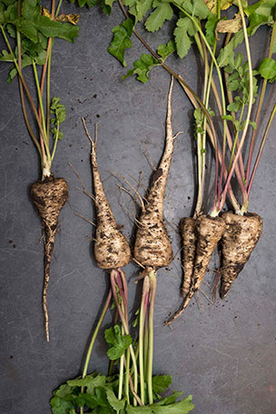 PHOTO: Our three parsnip cultivars: Albion, Lancer, and Half-long Guernsey.