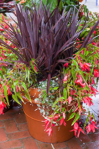 PHOTO: Cordyline, Begonia, and Dichondra.