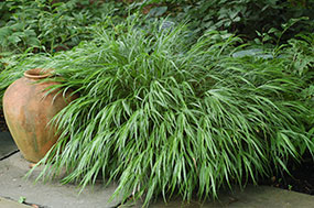 Ornamental grasses for fall and throughout the year for Japanese mounding grass