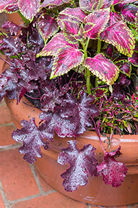 PHOTO: Heuchera, Coleus, and Alternanthera.