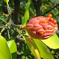 PHOTO: Magnolia virginiana var. australis 'Jim Wilson' in fruit.