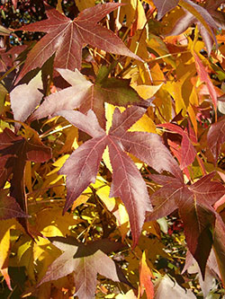 PHOTO: Liquidambar styraciflua, or sweetgum tree.