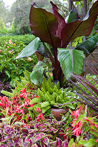 PHOTO: Musa, Begonia, and foxtail ferns.