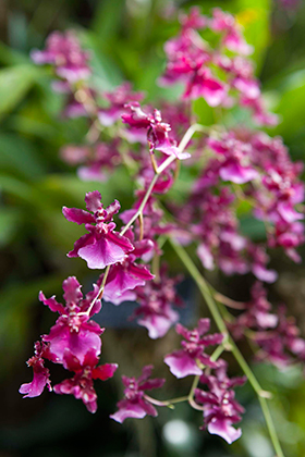 PHOTO: Oncidium Sharry Baby 'Sweet Fragrance'.