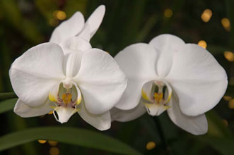 PHOTO: Phalaenopsis