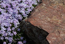 PHOTO: Phlox subulata 'Emerald Blue'