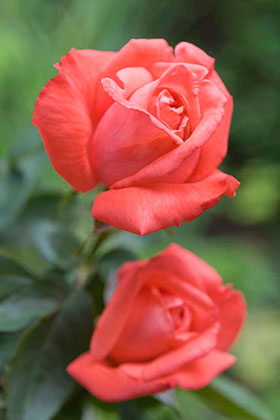 "PHOTO: Rosa 'Tanostar"", TROPICANA™ hybrid tea rose."