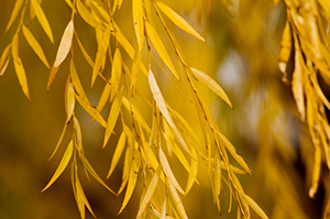 PHOTO: Willow in fall color.