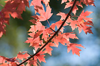 PHOTO: Autumn Blaze maple