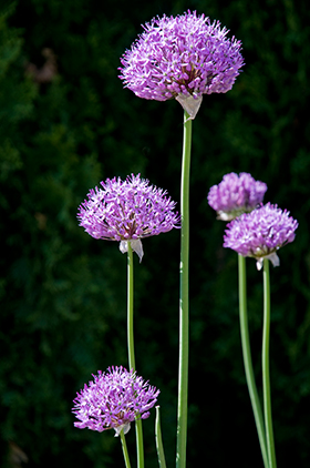 PHOTO: Allium 'Gladiator'.