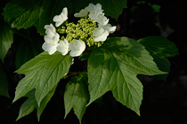 PHOTO: Viburnum trilobum 'J. N. Select'