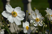 PHOTO: Fall anemone 'Honorine Jobert'