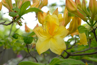 PHOTO: Azalea 'Golden Sunset'