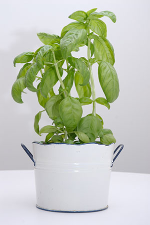 PHOTO: Basil in a pot
