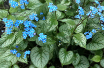 PHOTO: Brunnera macrophylla 'Jack Frost'