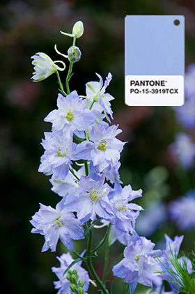 PHOTO: Delphinium in 2016 Pantone color.