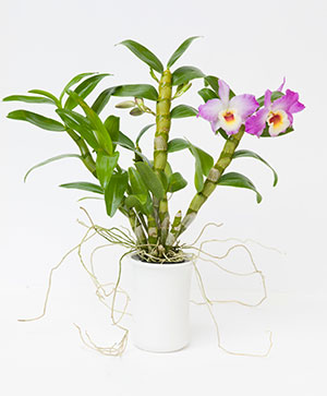 PHOTO: Dendrobium Country Girl 'Warabeuta'.