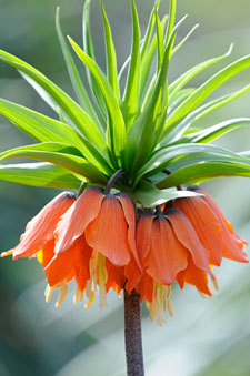 PHOTO: Fritillaria imperialis