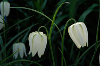 PHOTO: Fritillaria meleagris alba