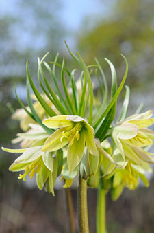 PHOTO: Fritillaria raddeana