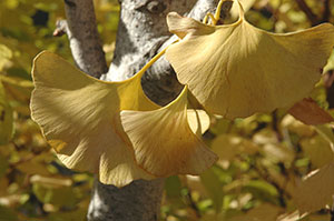 PHOTO: Ginkgo in fall color.