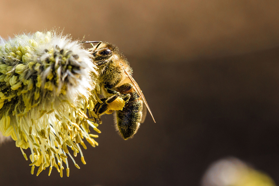 PHOTO: Honey bee with legs full of pollen.